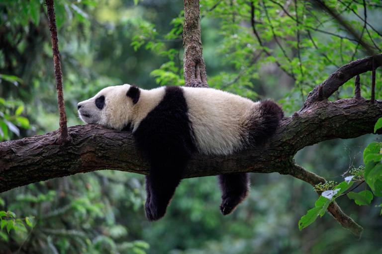 A panda lies on its belly on a large tree branch, arms and legs hanging down on either side.