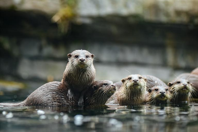 a group of otters, one standing on the back of another looking at the camera